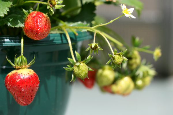sstrawberries in a hanging potresized