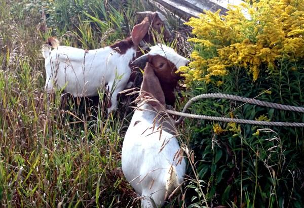 goldenrod goaties