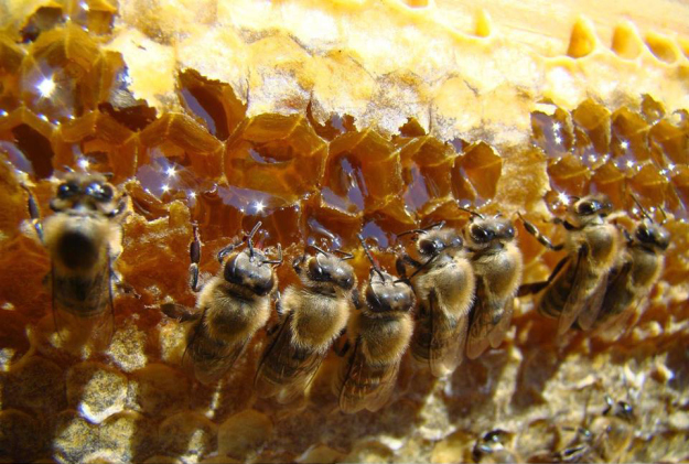 Bees eating comb