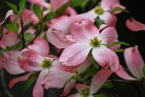 Pink Dogwood (Cornus florida)