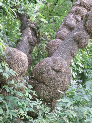 knobby trees